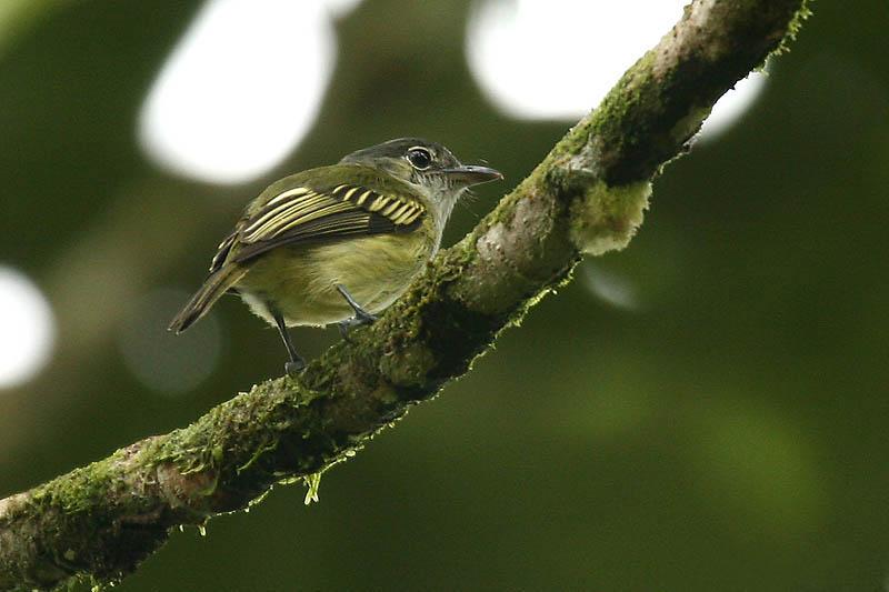 Ficheiro:Tolmomyias assimilis -NW Ecuador-8.jpg