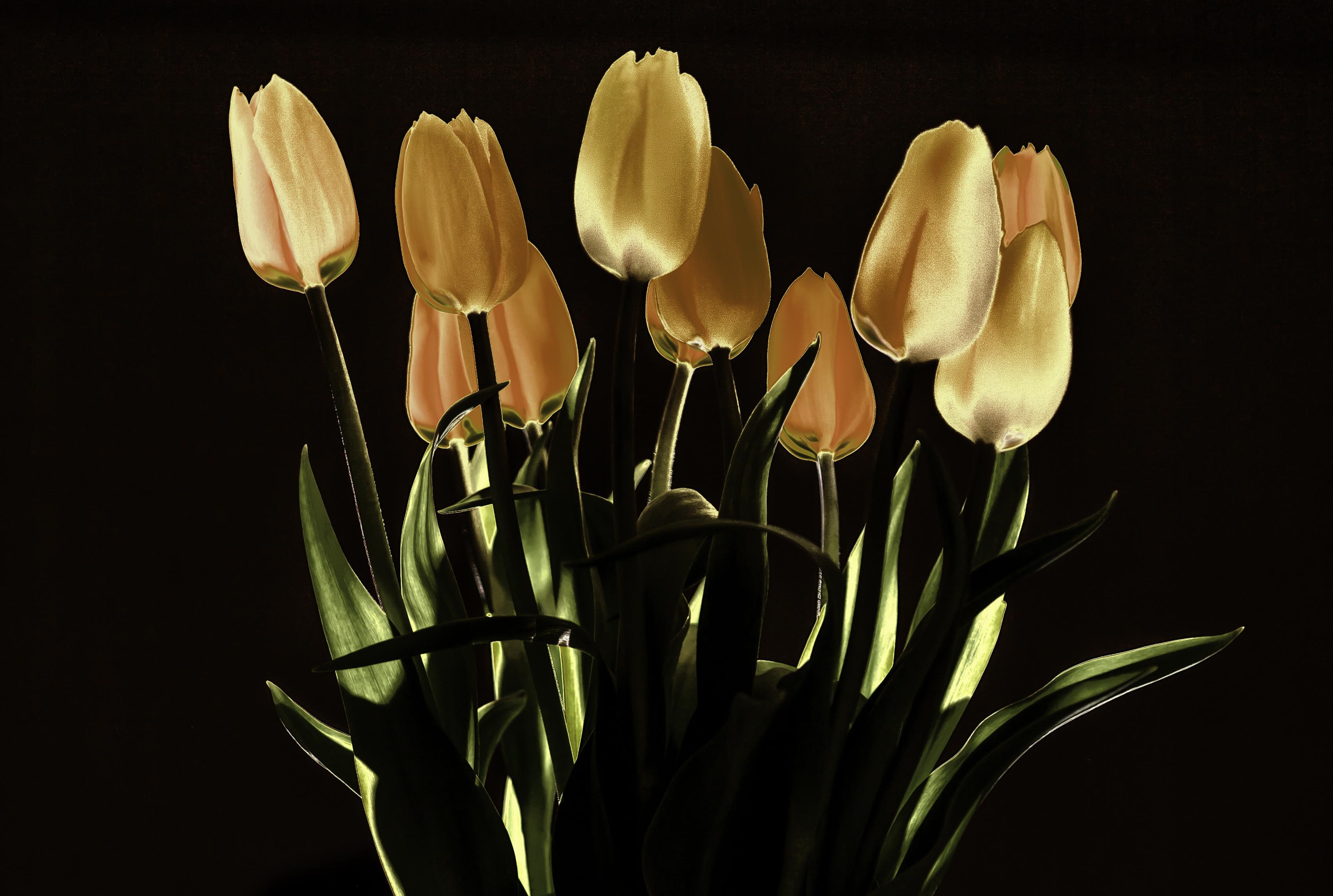 Night light wikipedia - File Tulips At Night Light 8147134594 Jpg