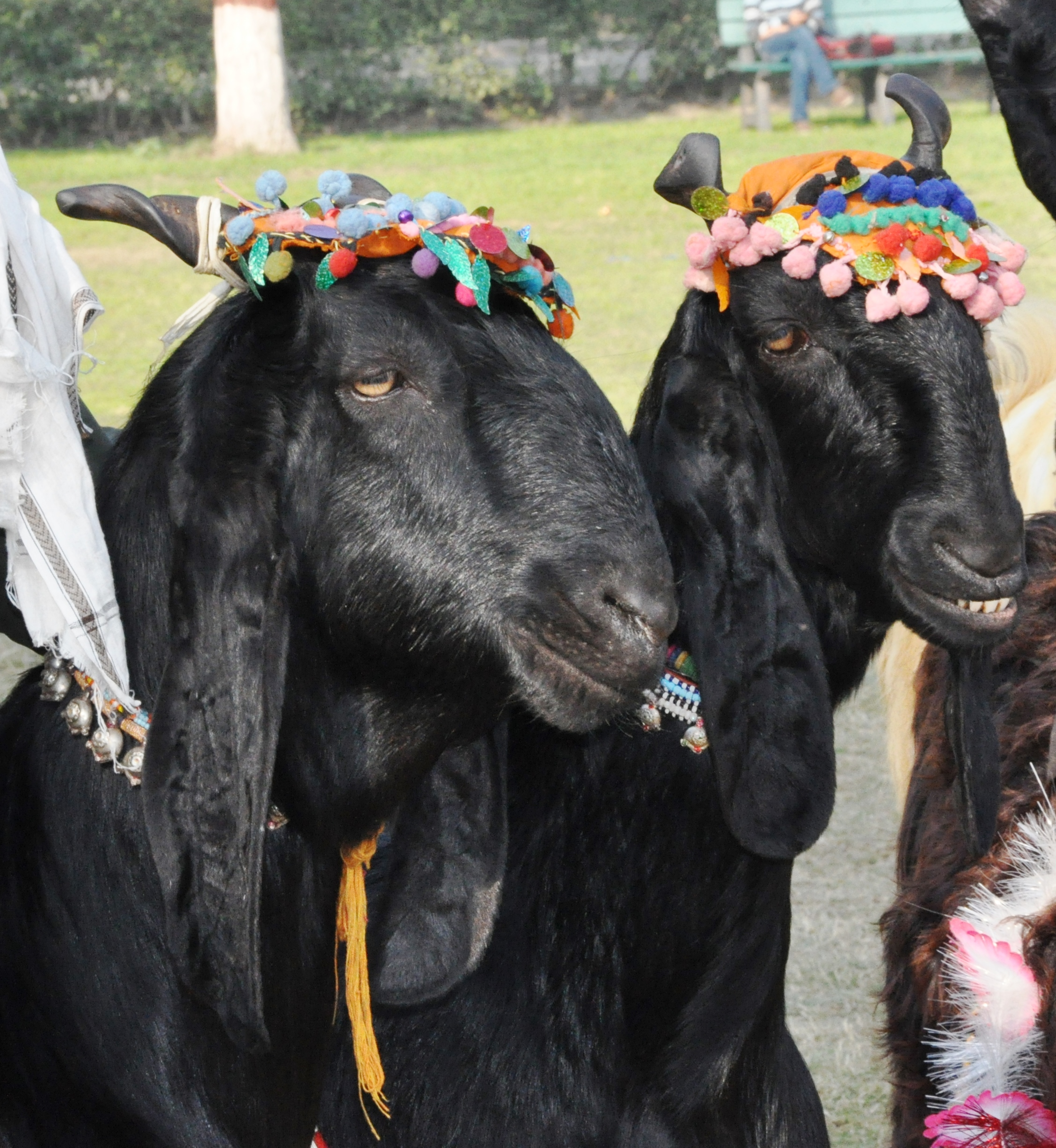 File:USAID PEEP Supports Goat and Sheep Breed Improvement in
