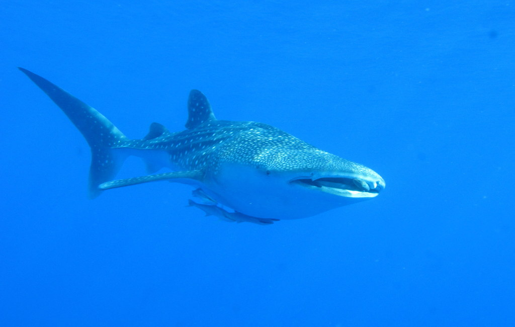 Description Whaleshark, Daedalus Reef, Red Sea, Egypt (6142991559).jpg Whale Shark Size