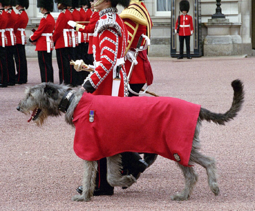 irish wolfhound in irish guards