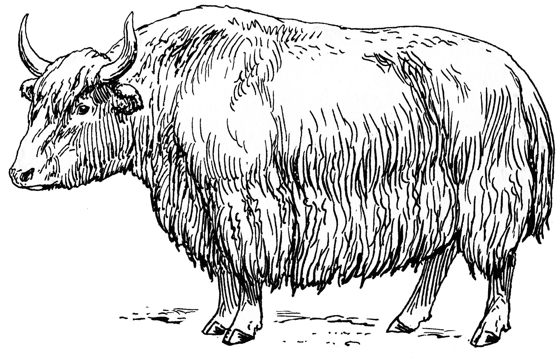 картинка овцебыка распечатать описание характеристика
