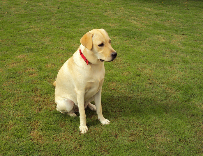 File:Yellow Labrador