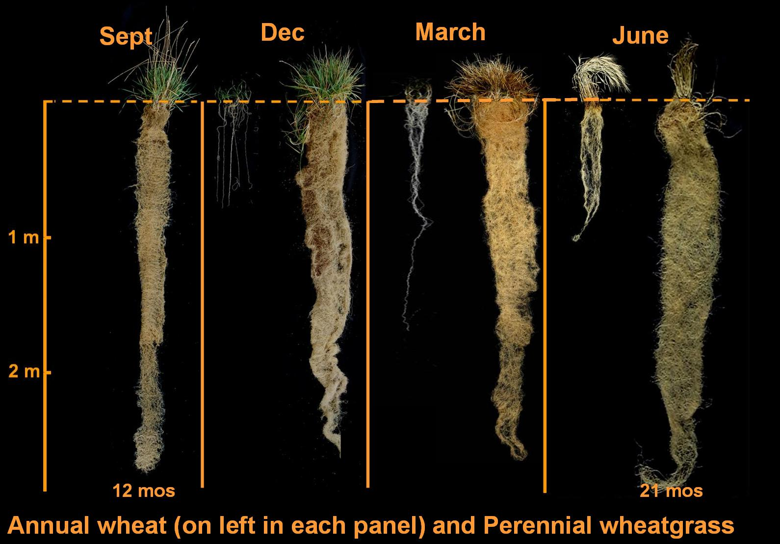 Root growth of intermediate wheat grass compared to annual wheat.