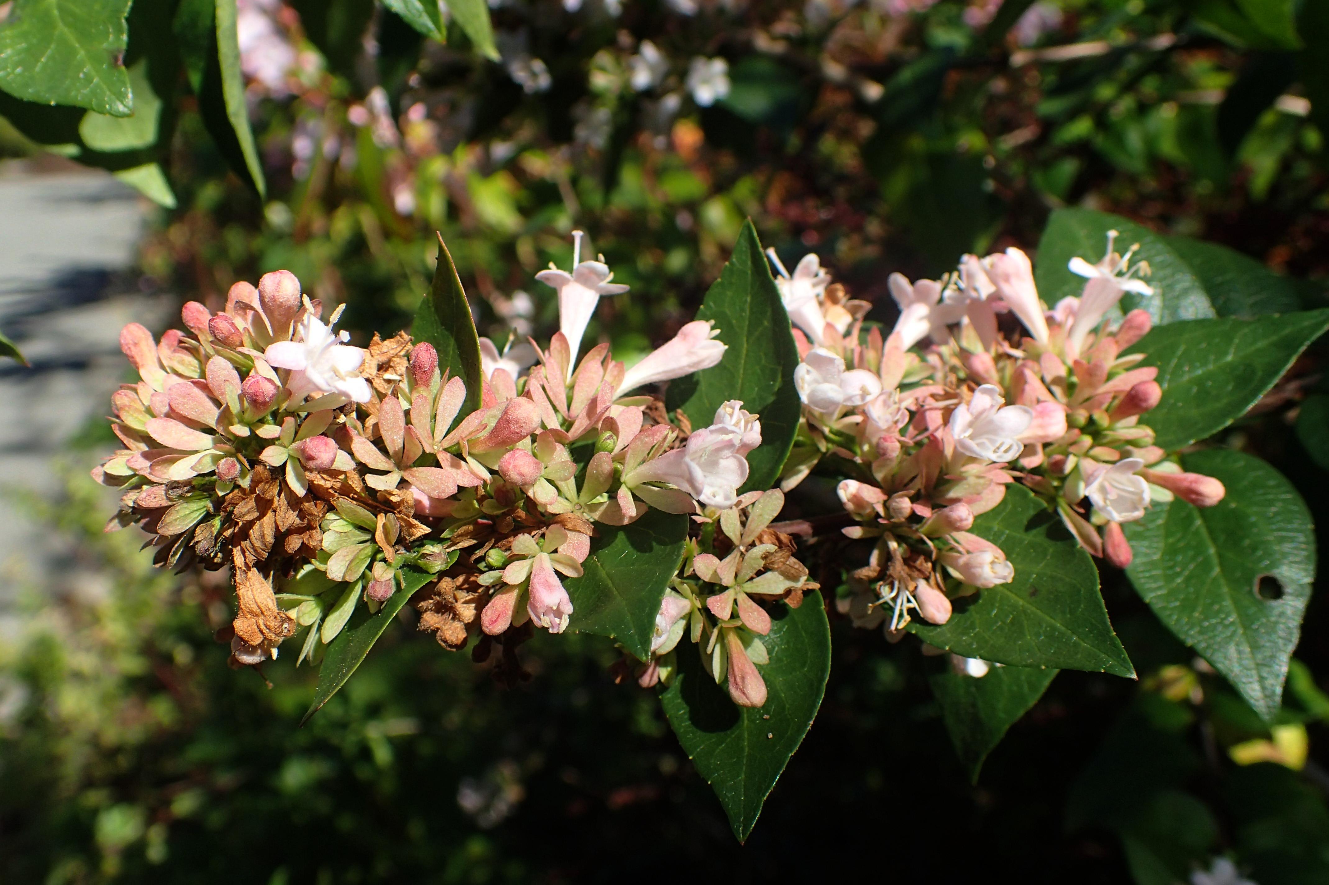 Fileabelia Chinensis Kz1jpg Wikimedia Commons