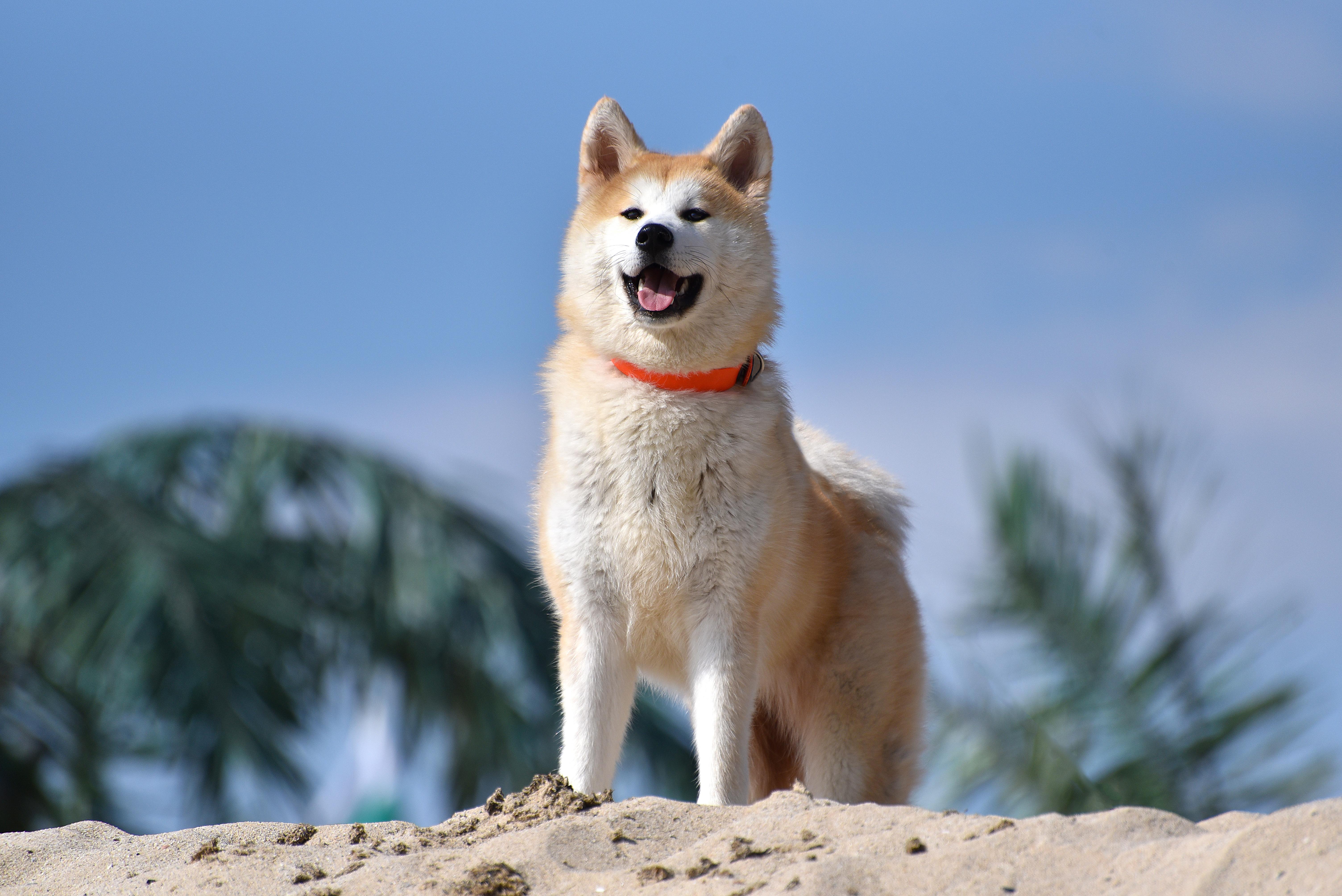 Akita Dog Wikipedia