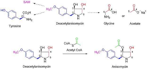 Biosíntesis de anisomicina.png