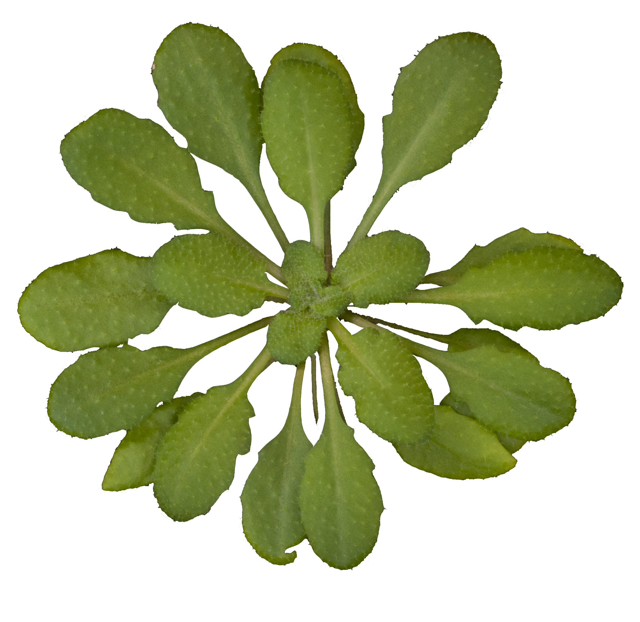 File:Arabidopsis thaliana rosette transparent background.png ... for Plant Transparent Png  303mzq