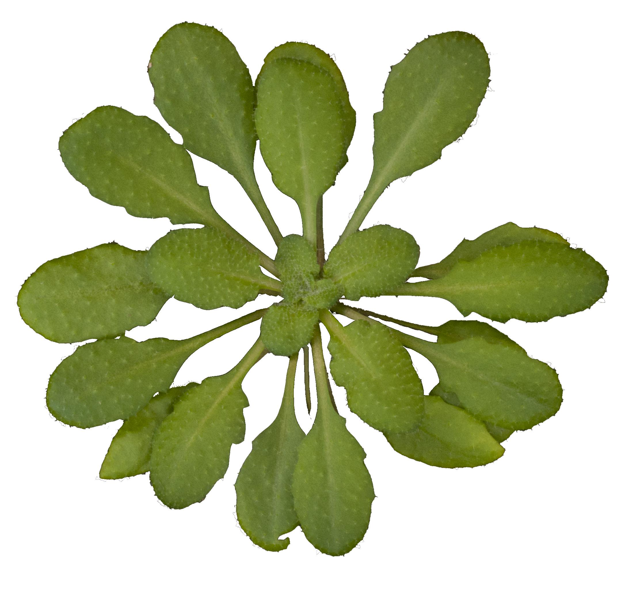 file arabidopsis thaliana rosette transparent wikimedia commons. Black Bedroom Furniture Sets. Home Design Ideas