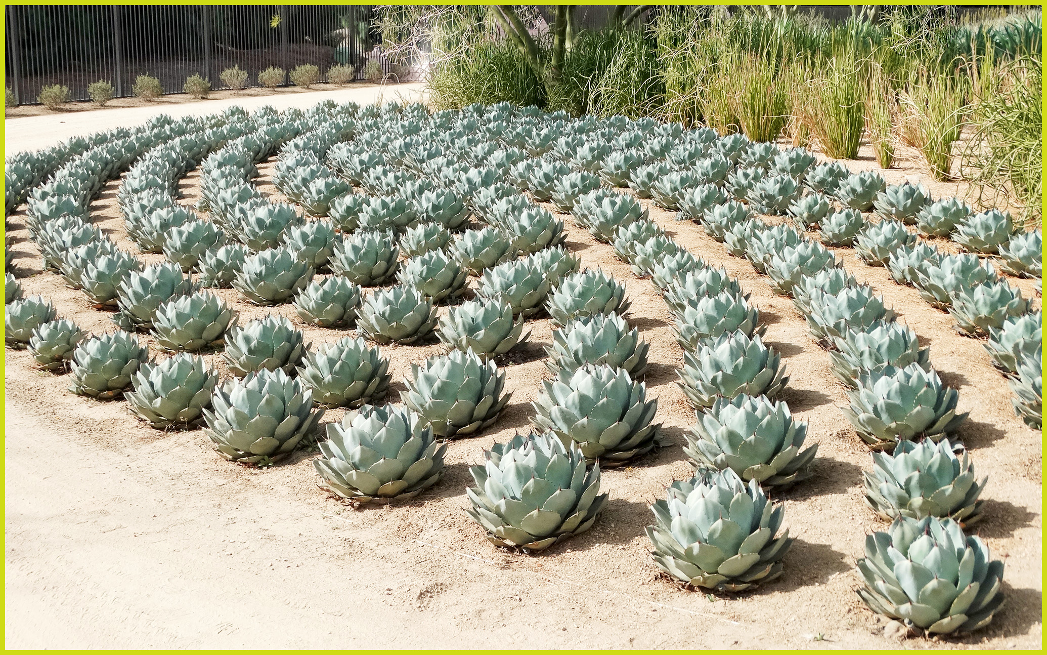 FileArtichoke Agave, Sunnylands 2,22,14 (12935575573)