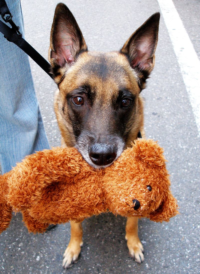 A Picture Of A German Shepherd Dog