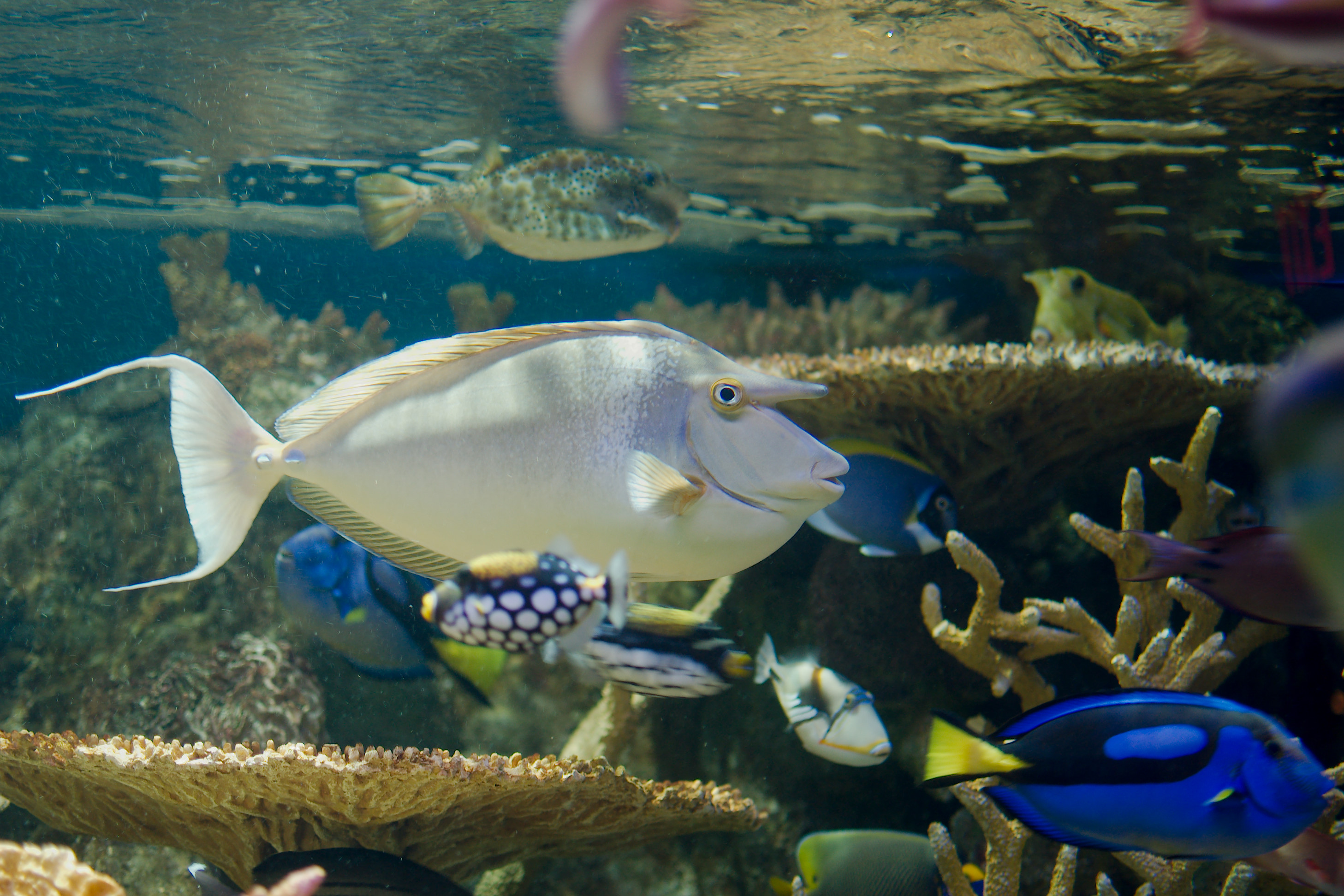 Fish in new aquarium - File Blue Spine Unicornfish New England Aquarium Jpg