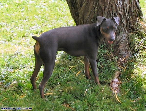 File:Blue and rust miniature pinscher.jpg - Wikimedia Commons