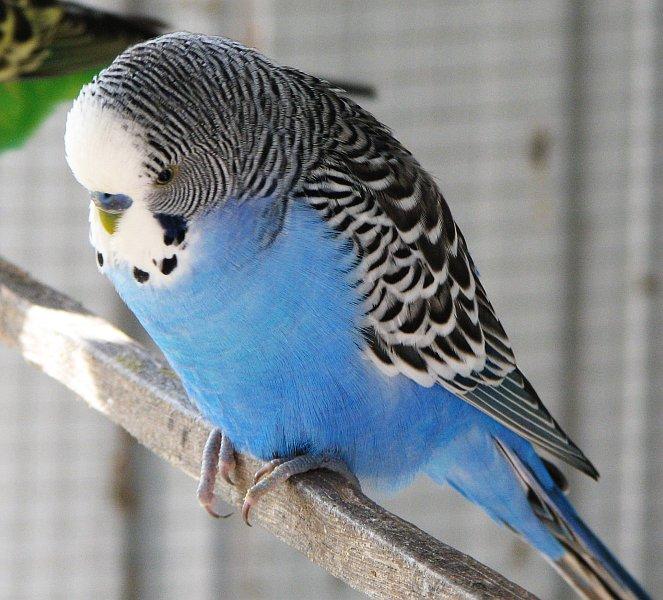 پرونده:Blue male budgie.jpg