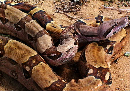 http://upload.wikimedia.org/wikipedia/commons/a/a7/Boa_constrictor_%282%29.jpg