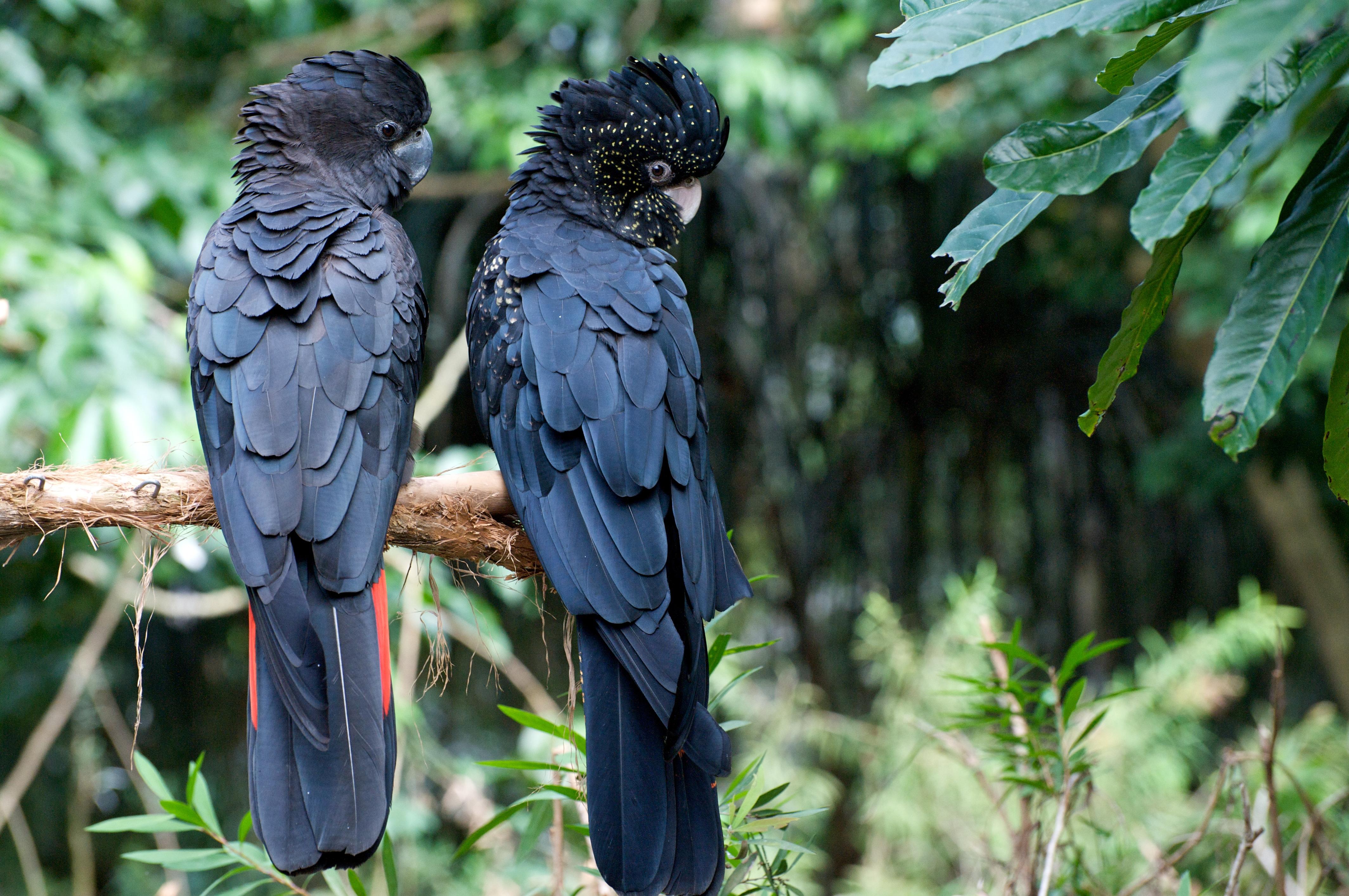 File calyptorhynchus banksii the rainforest habitat sanctuary 8a