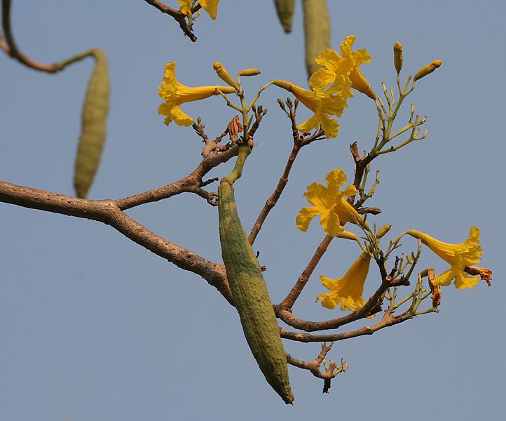 fleurs de tabebua