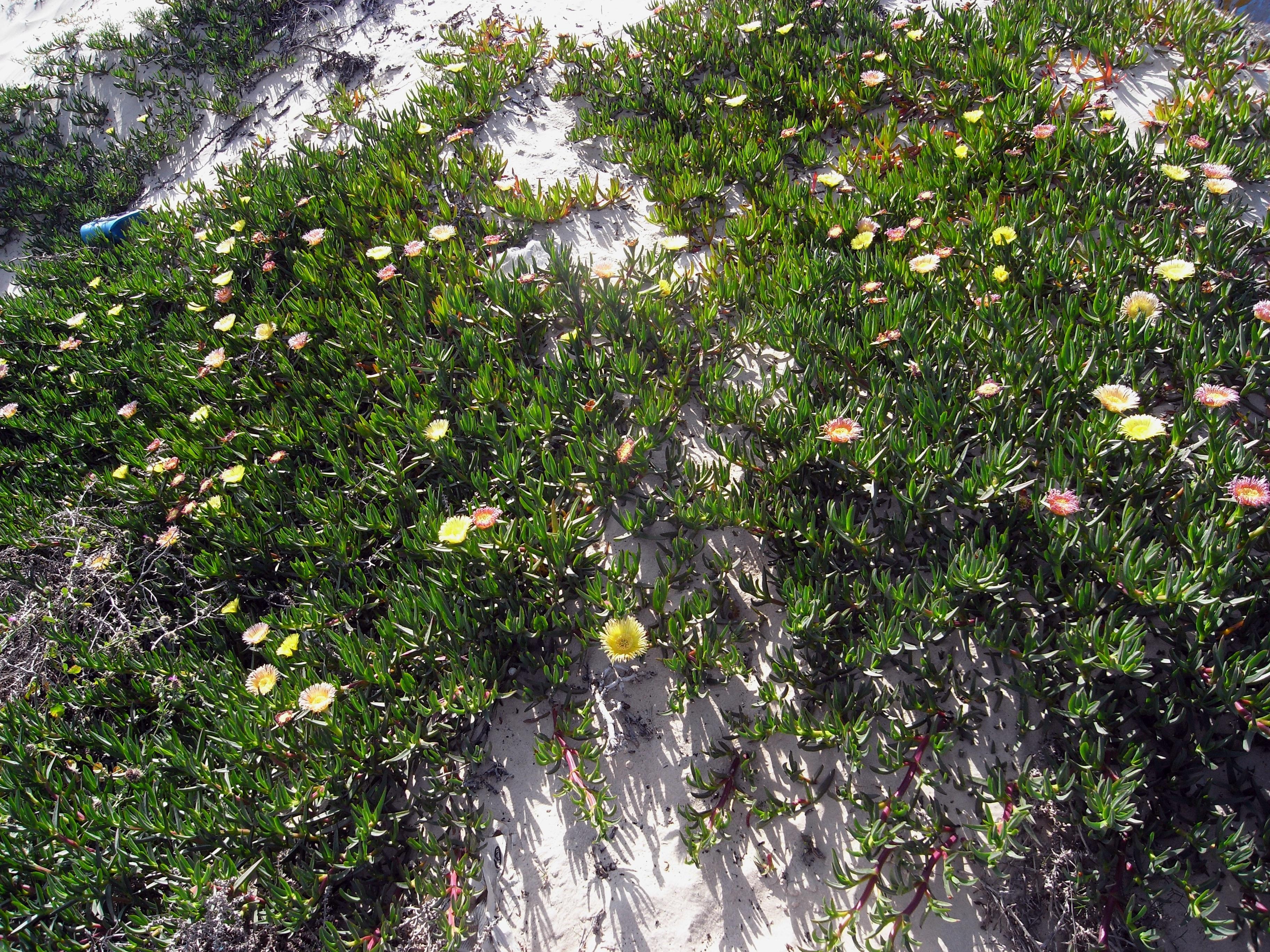Die Essbare Mittagsblume, ein invasiver Neophyt Maltas (hier in Tunesien)