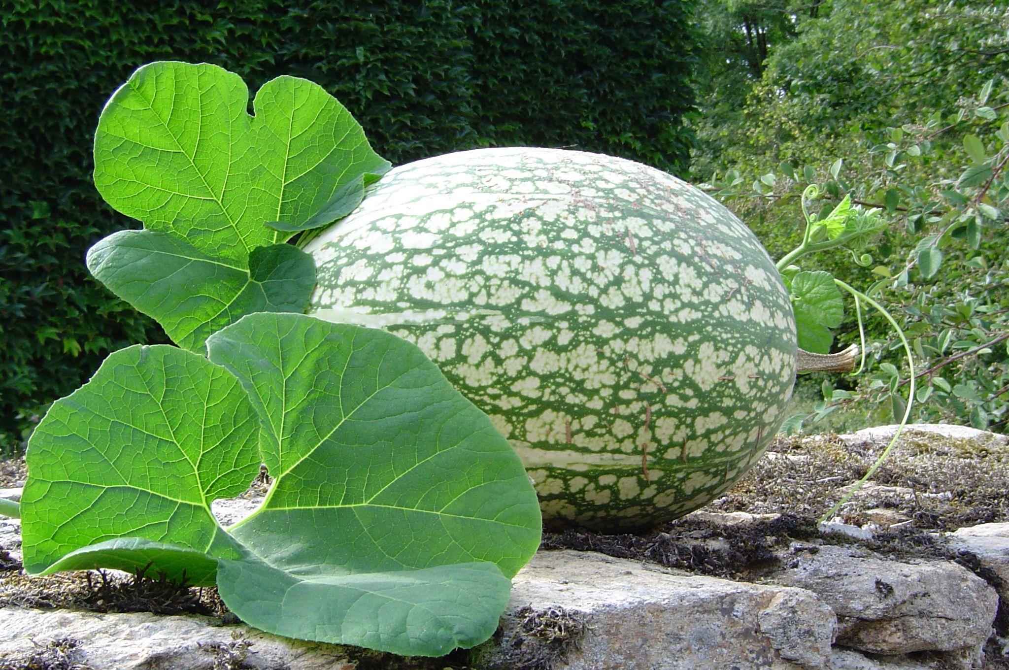 el melon y la diabetes