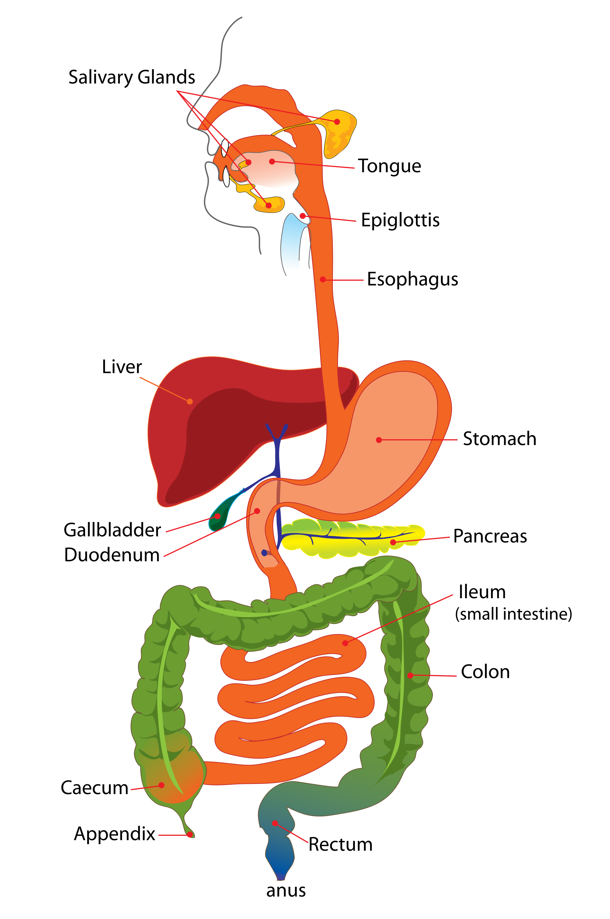 Diagram of the digestive system to show areas affected by IBD