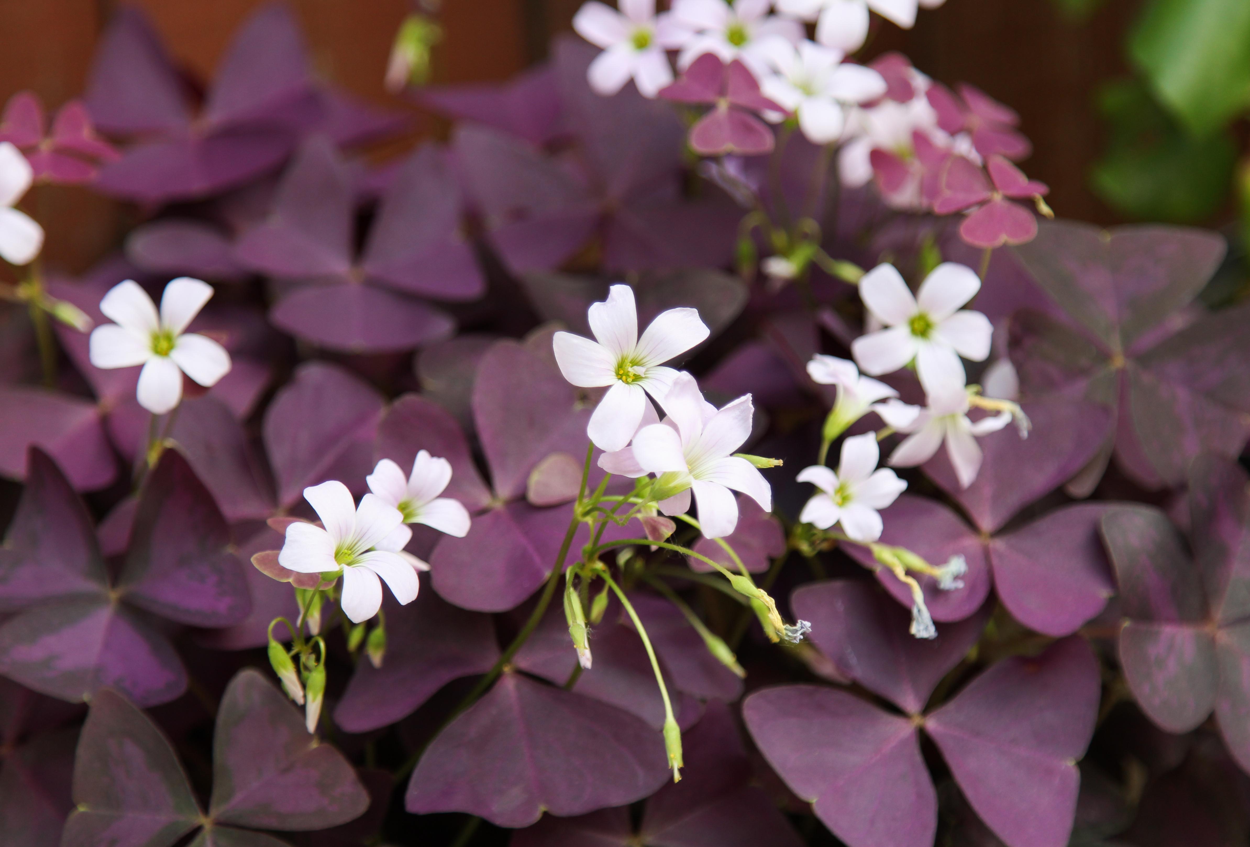 Picture of Live Purple Shamrock aka Oxalis triangularis Plant Fit 1 Gallon Pot