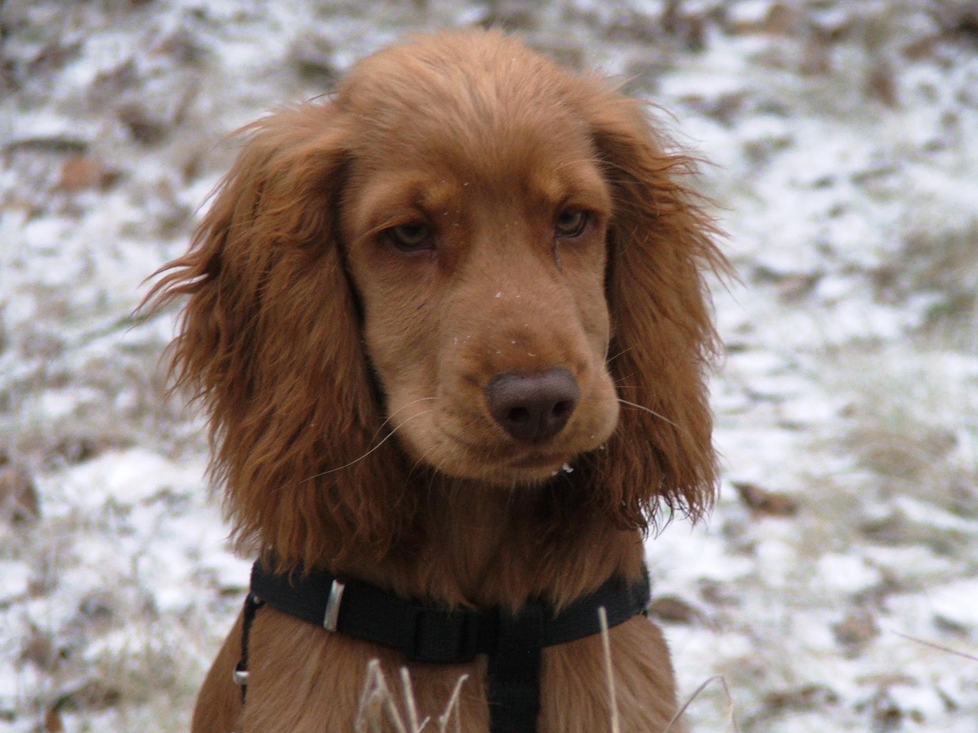 Cocker Spaniel Dogs For Sale Essex