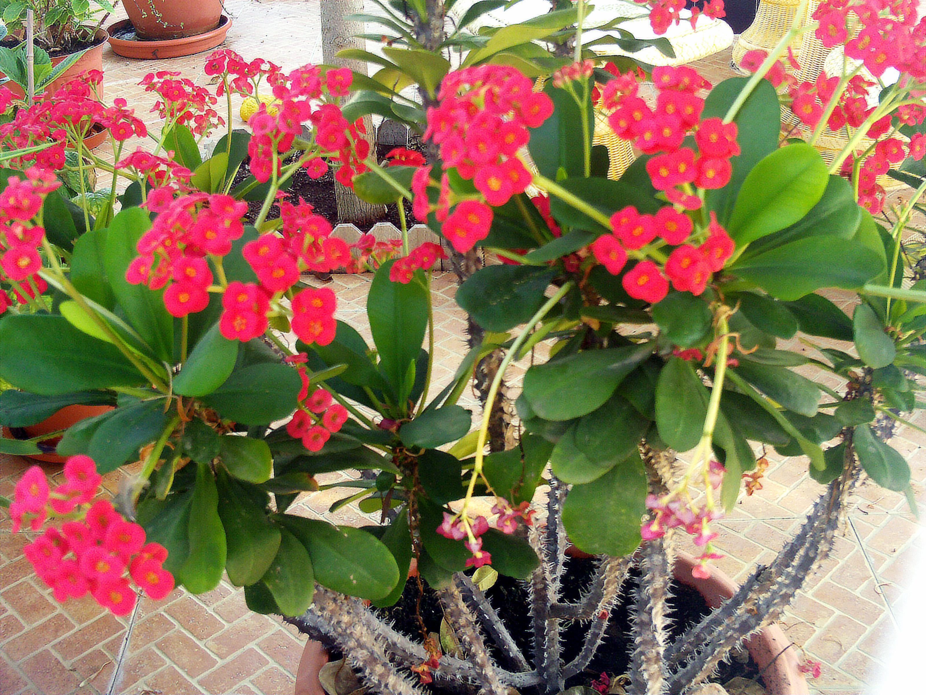 Red Euphorbia