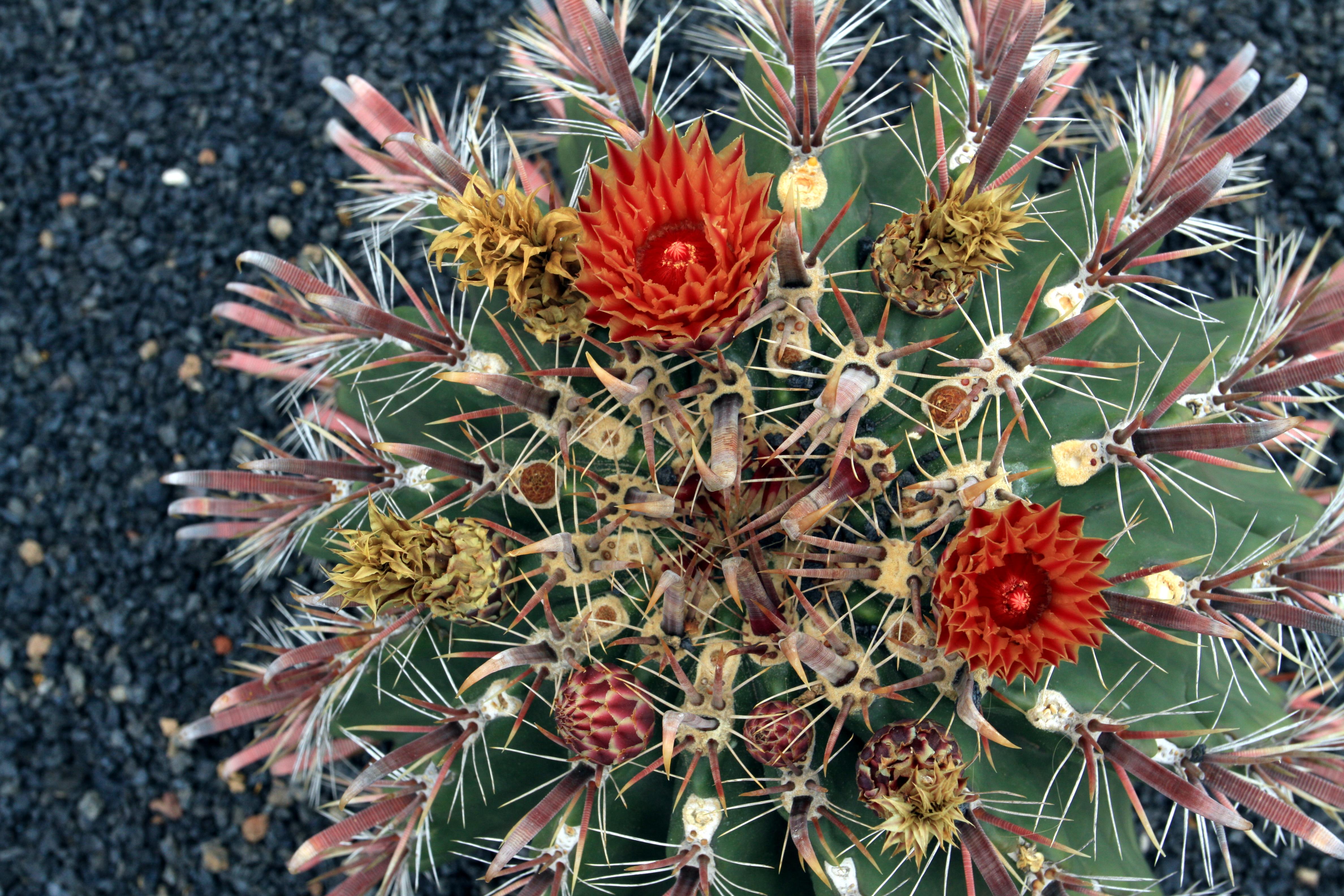 File ferocactus townsendianus in jardin de cactus on for Jardin de cactus lanzarote