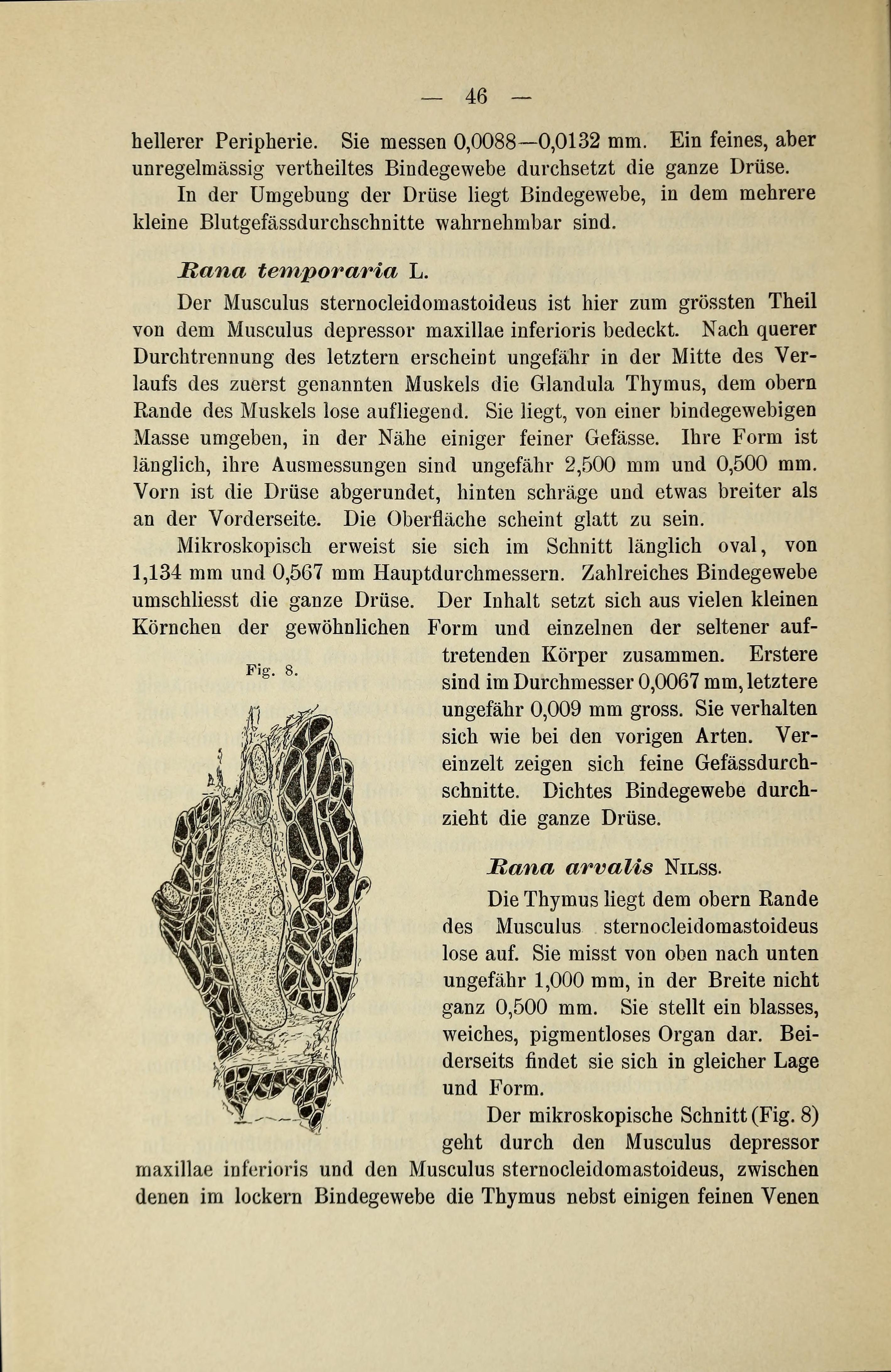 File:Glandula thyreoidea und Glandula Thymus der Amphibien (Page 46 ...