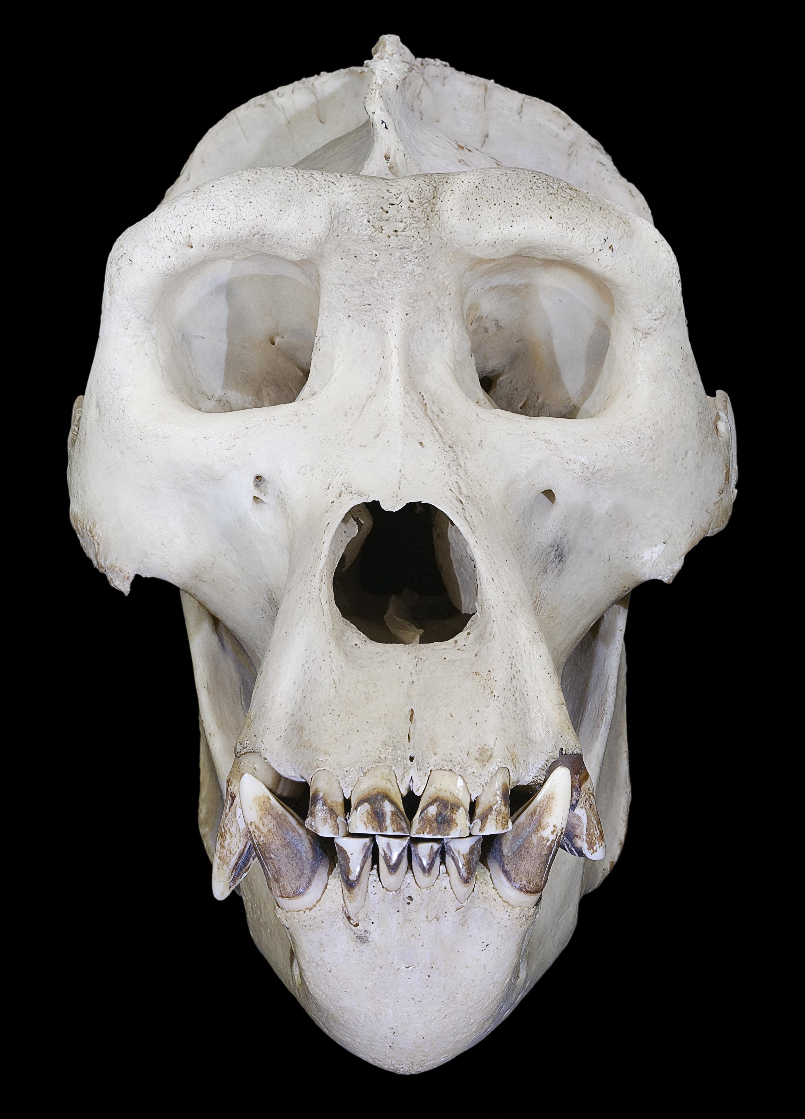 Gorilla Skull Anatomy - rsp