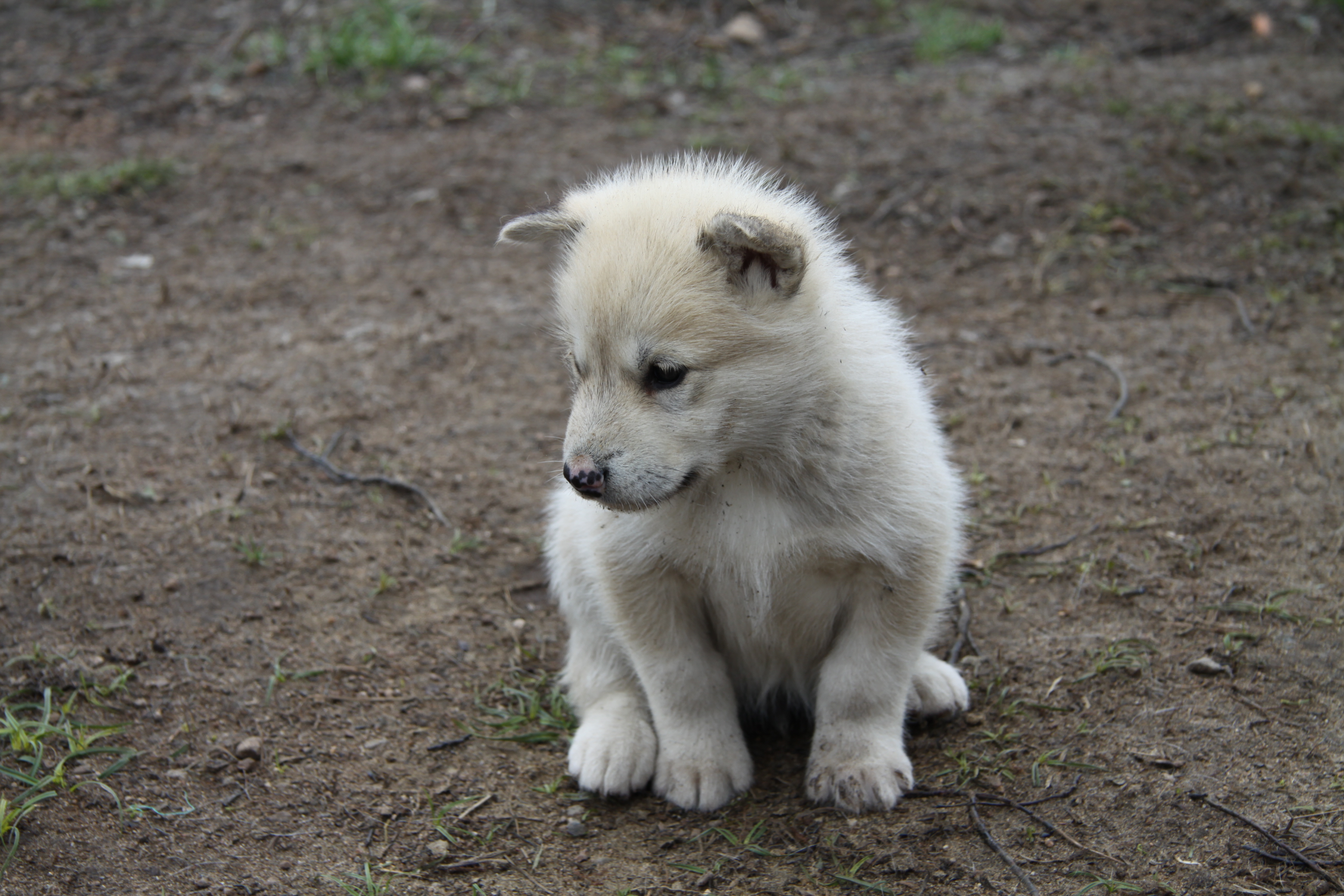 Greenland Dog Puppies For Sale