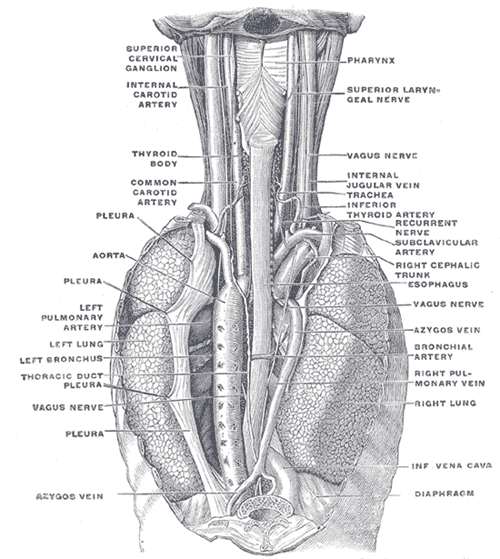 Azygos Vein Wikipedia