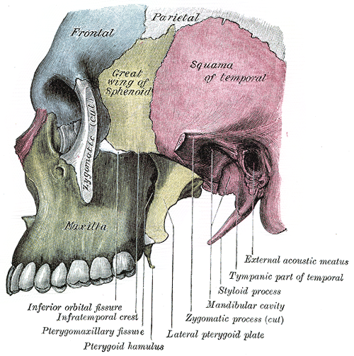 maxilla - wikipedia, Human Body