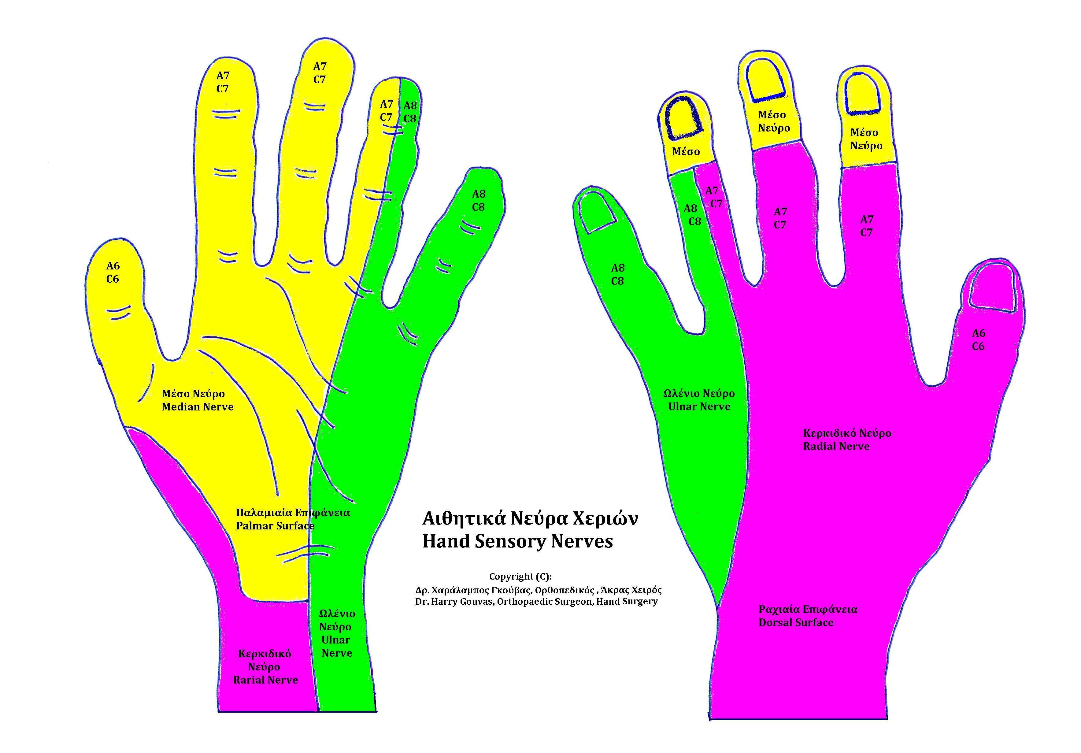 File:Hand Sensory Nerves.jpg - Wikimedia Commons