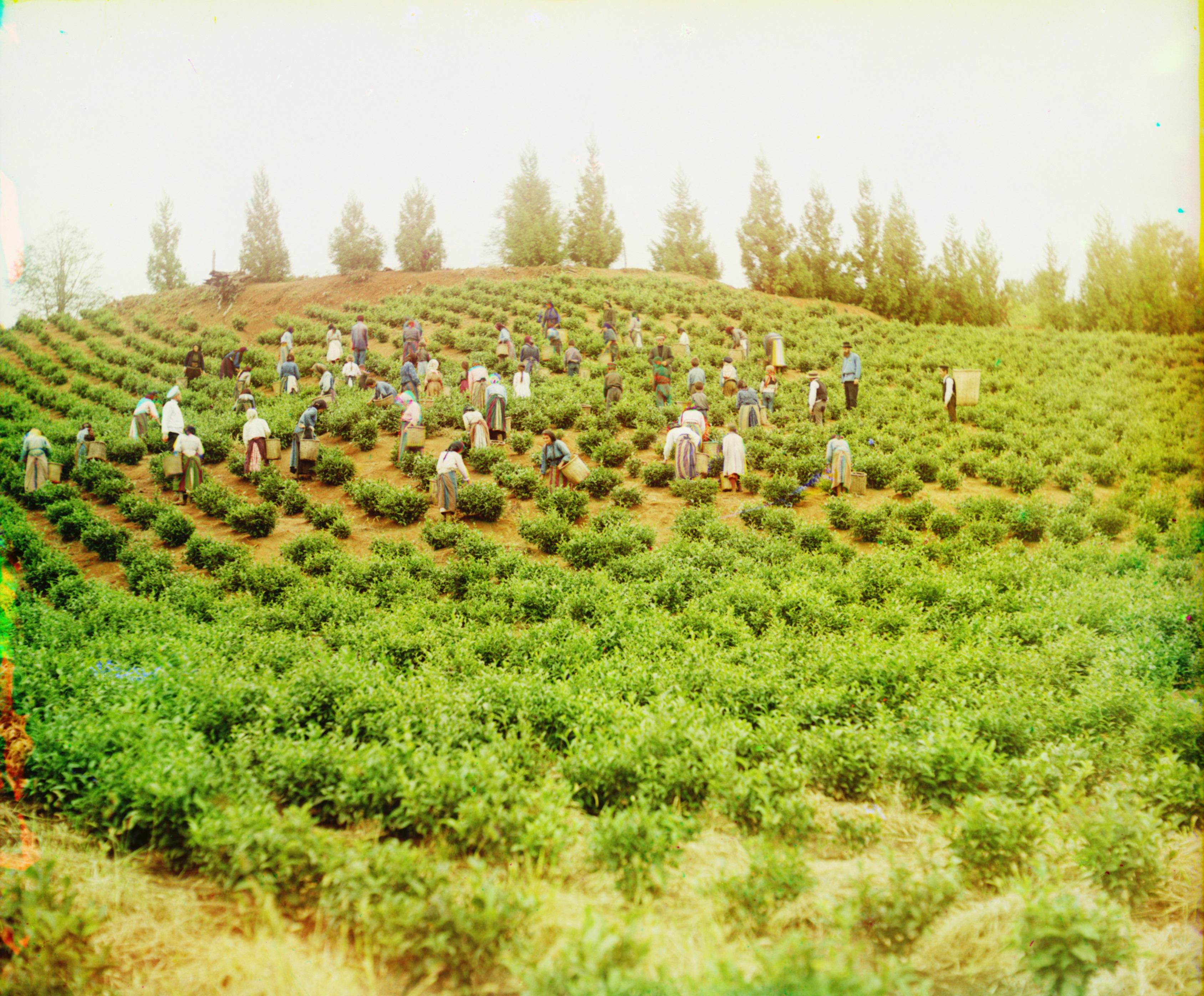 Harvesting tea in Chakva.jpg