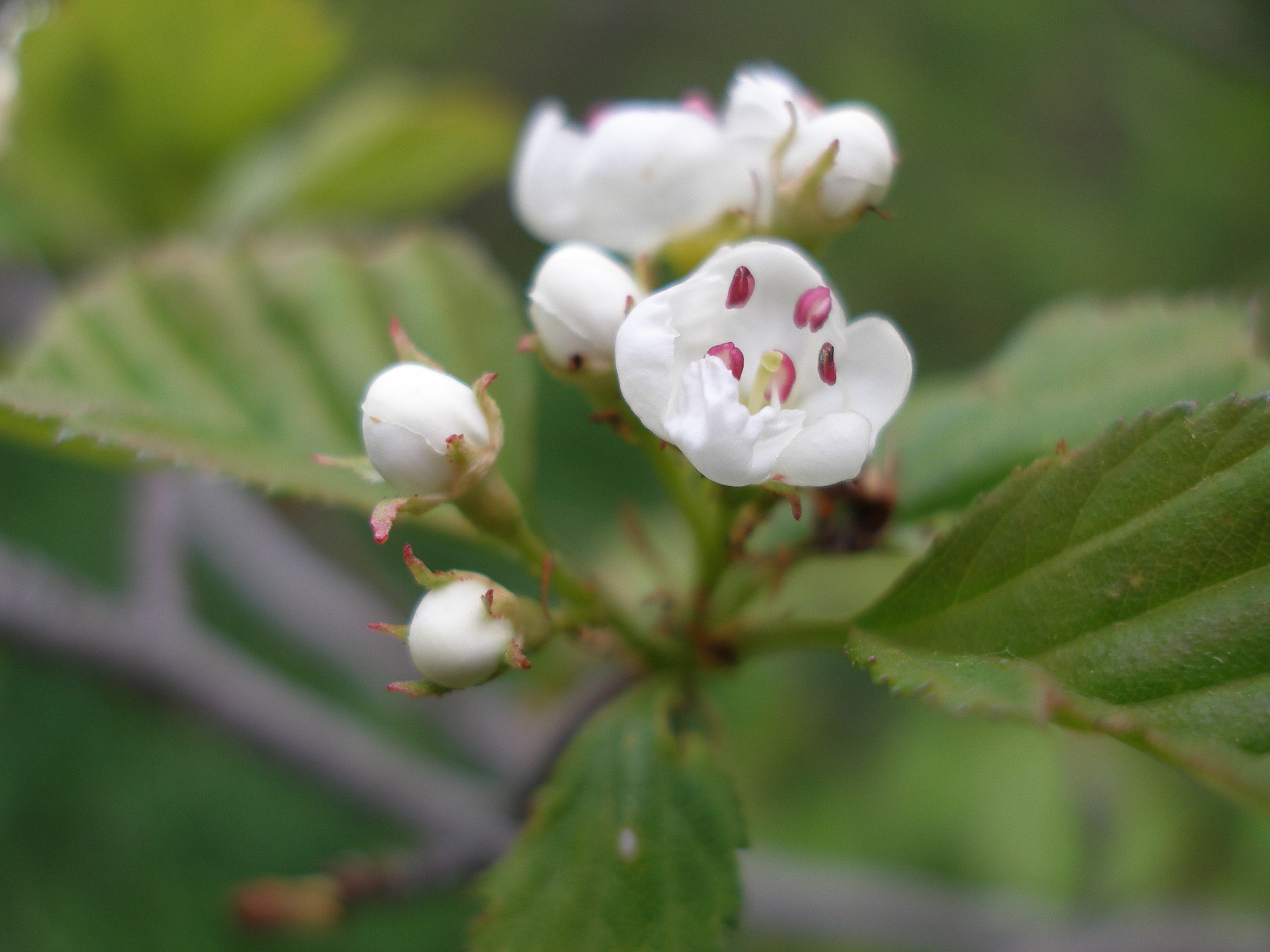 File Hawthorn blossom single open with buds Wikimedia mons