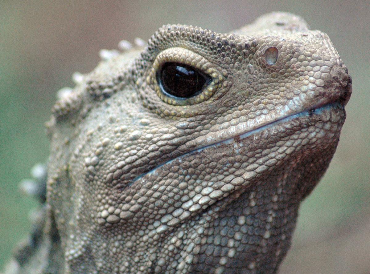 Clasificación-de-los-reptiles-Rhynchocephalia