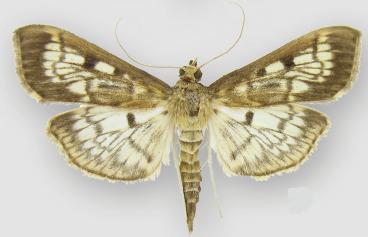 Loxostege angustipennis Quiz