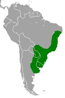 <i>Holochilus brasiliensis</i> species of mammal