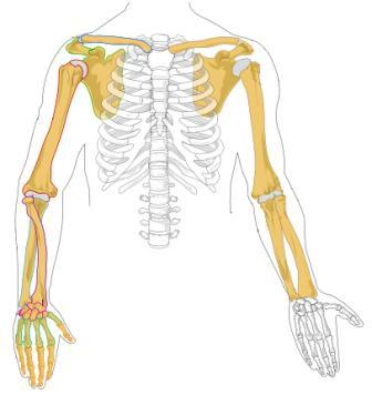 Human arm diagram - photo#29