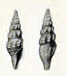 <i>Inquisitor subangusta</i> species of mollusc