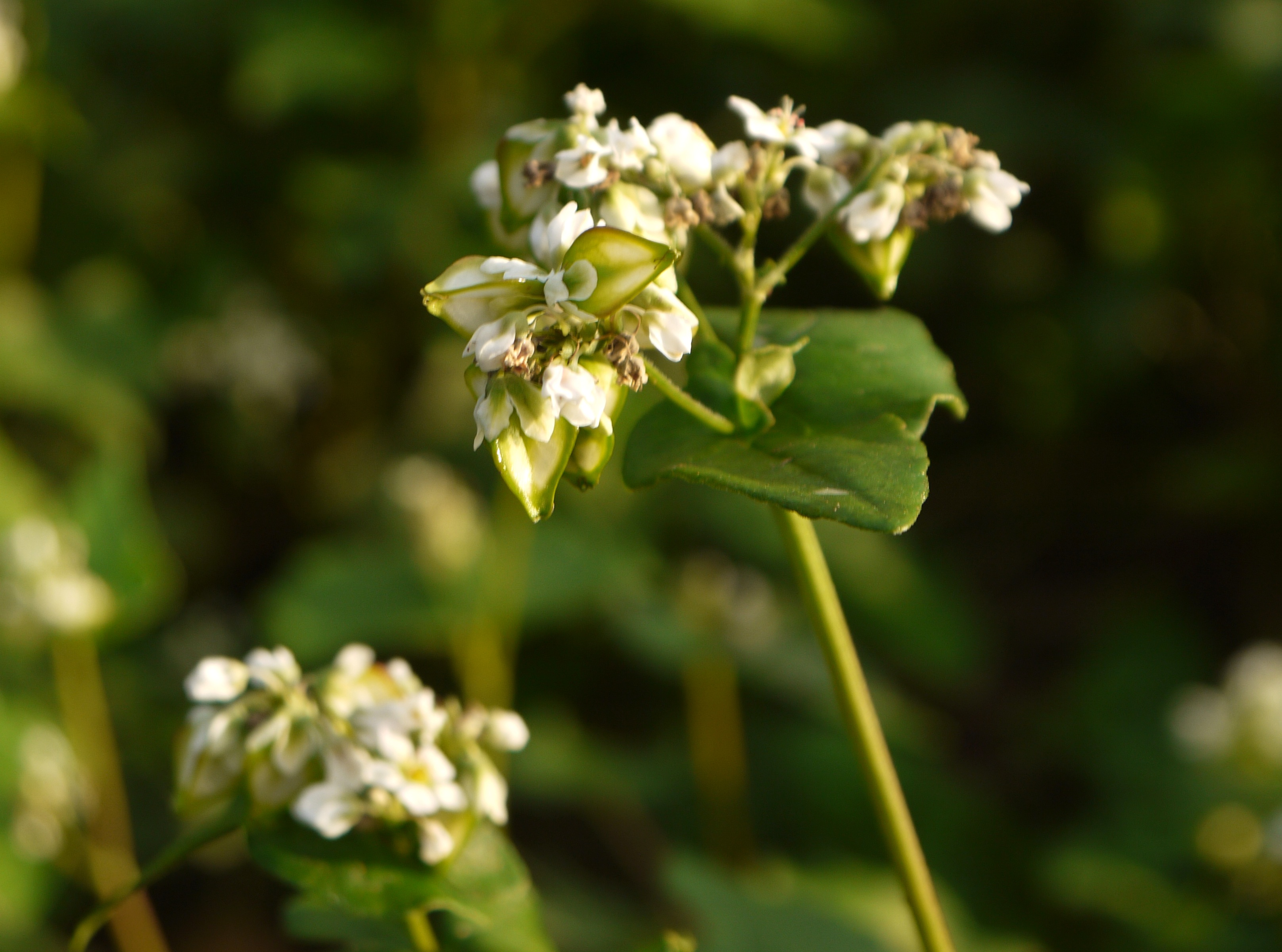 Japanese buckwheat flower