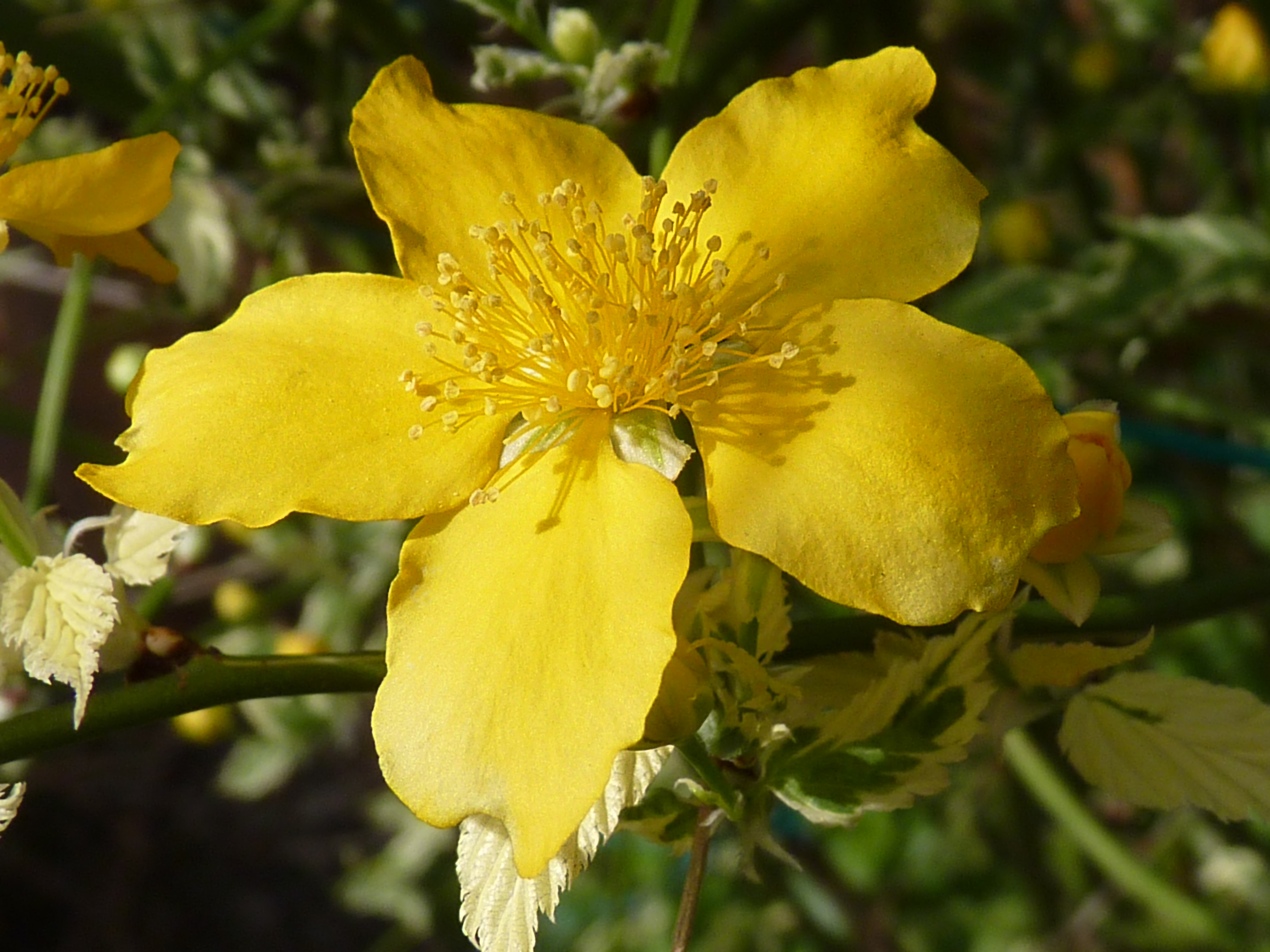 File kerria japonica 39 picta 39 j1 jpg for Kerria japonica