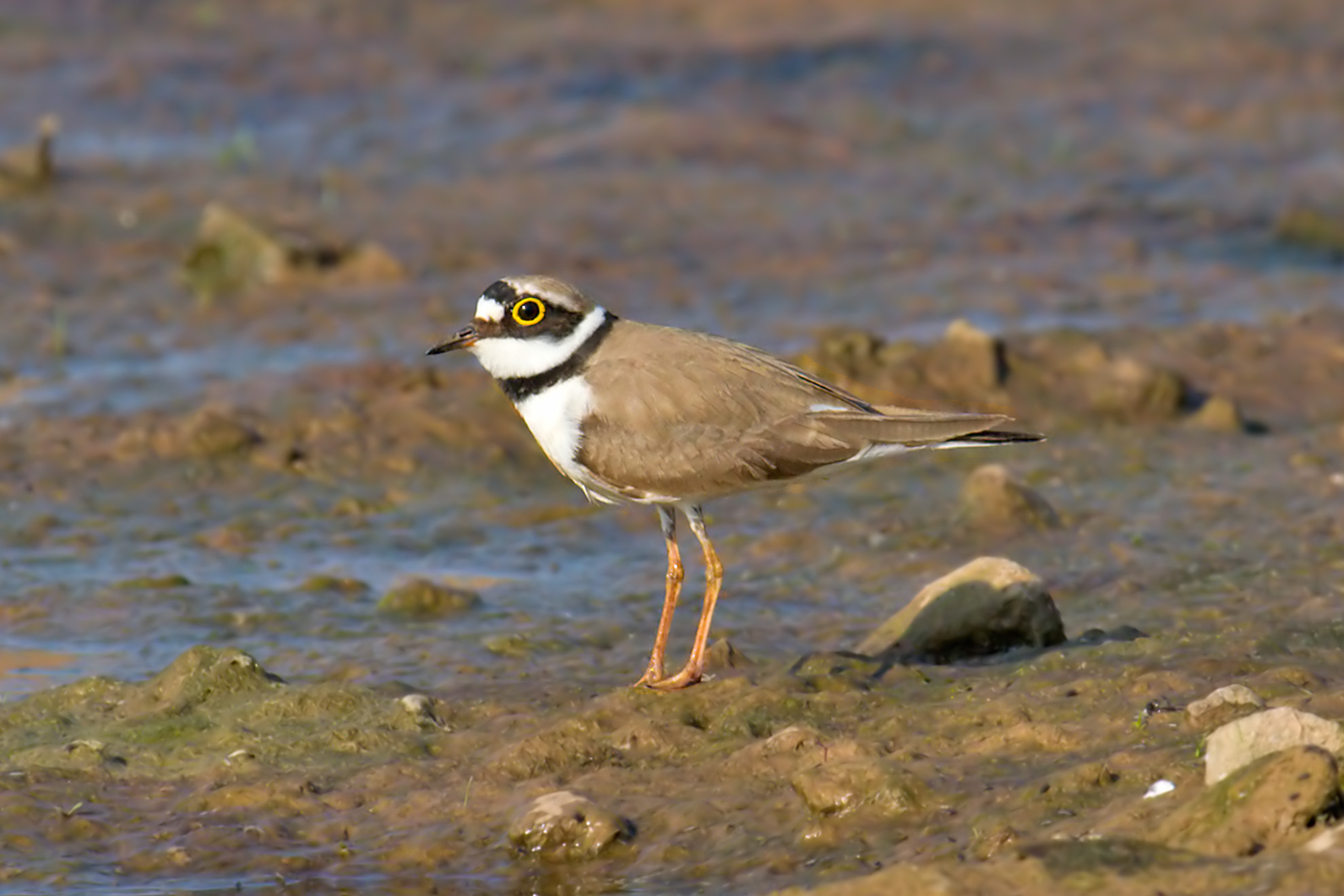 Ringed Plover Images