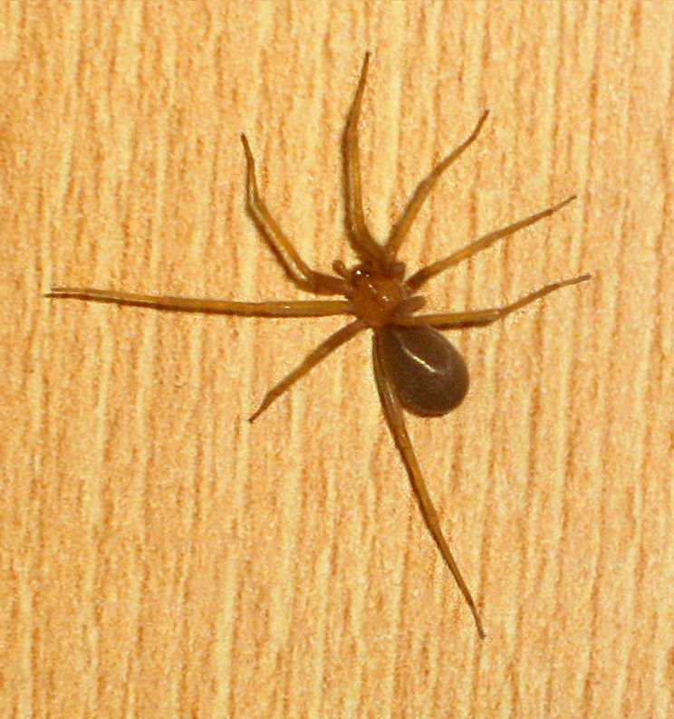 Deadliest Spiders in the World | INSECT COP |Chilean Recluse