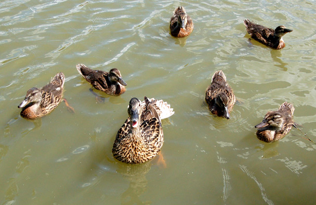 File:Mallard and ducklings on the Oxford Canal near Clifton Road - geograph.org.uk - 1414872.jpg