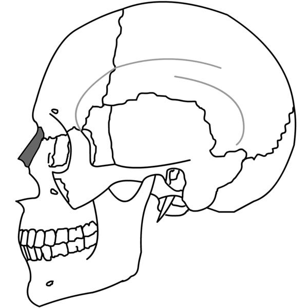 File:Nasal Bone Simple.png - Wikimedia Commons
