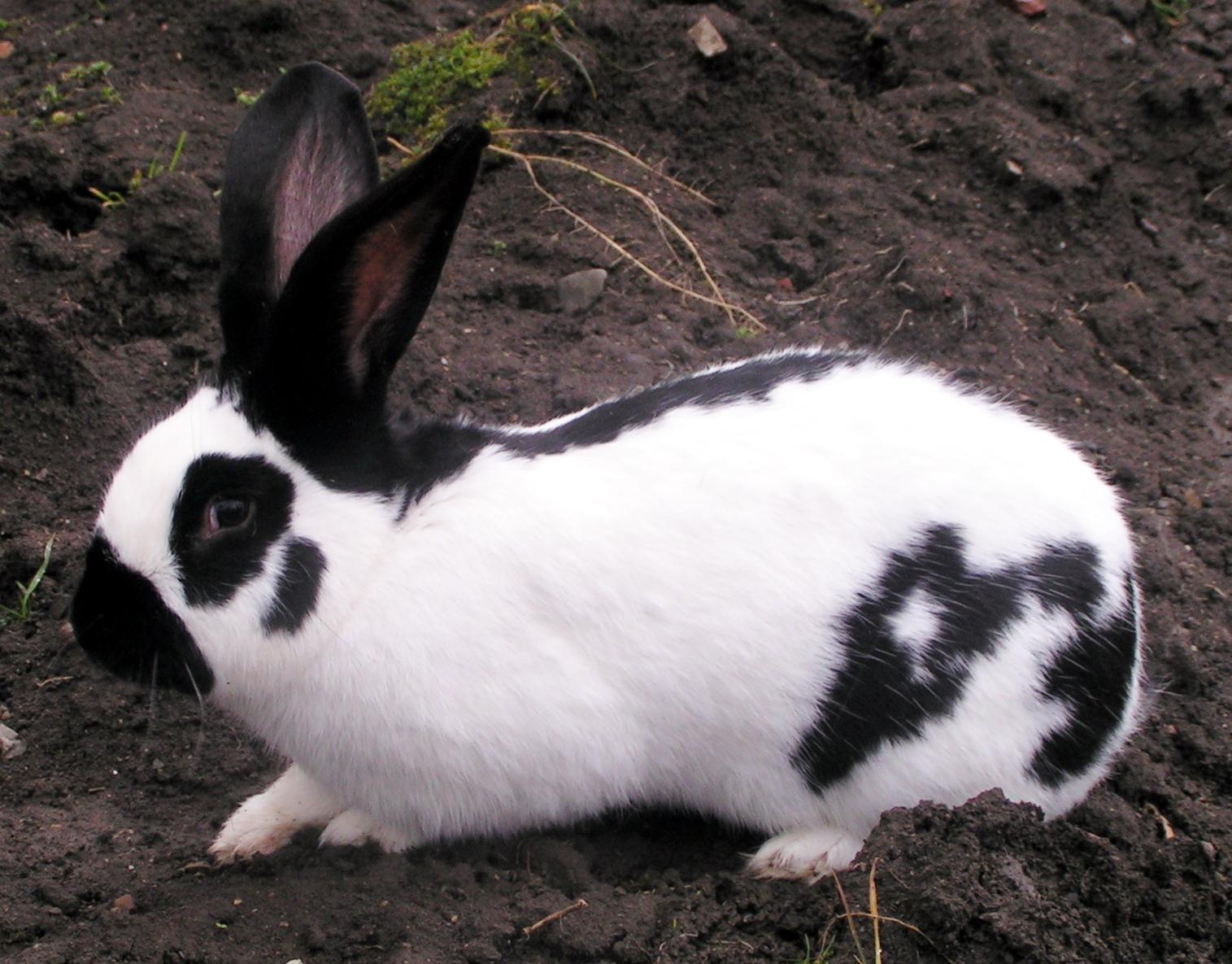 Checkered Giant rabbit - Wikipedia