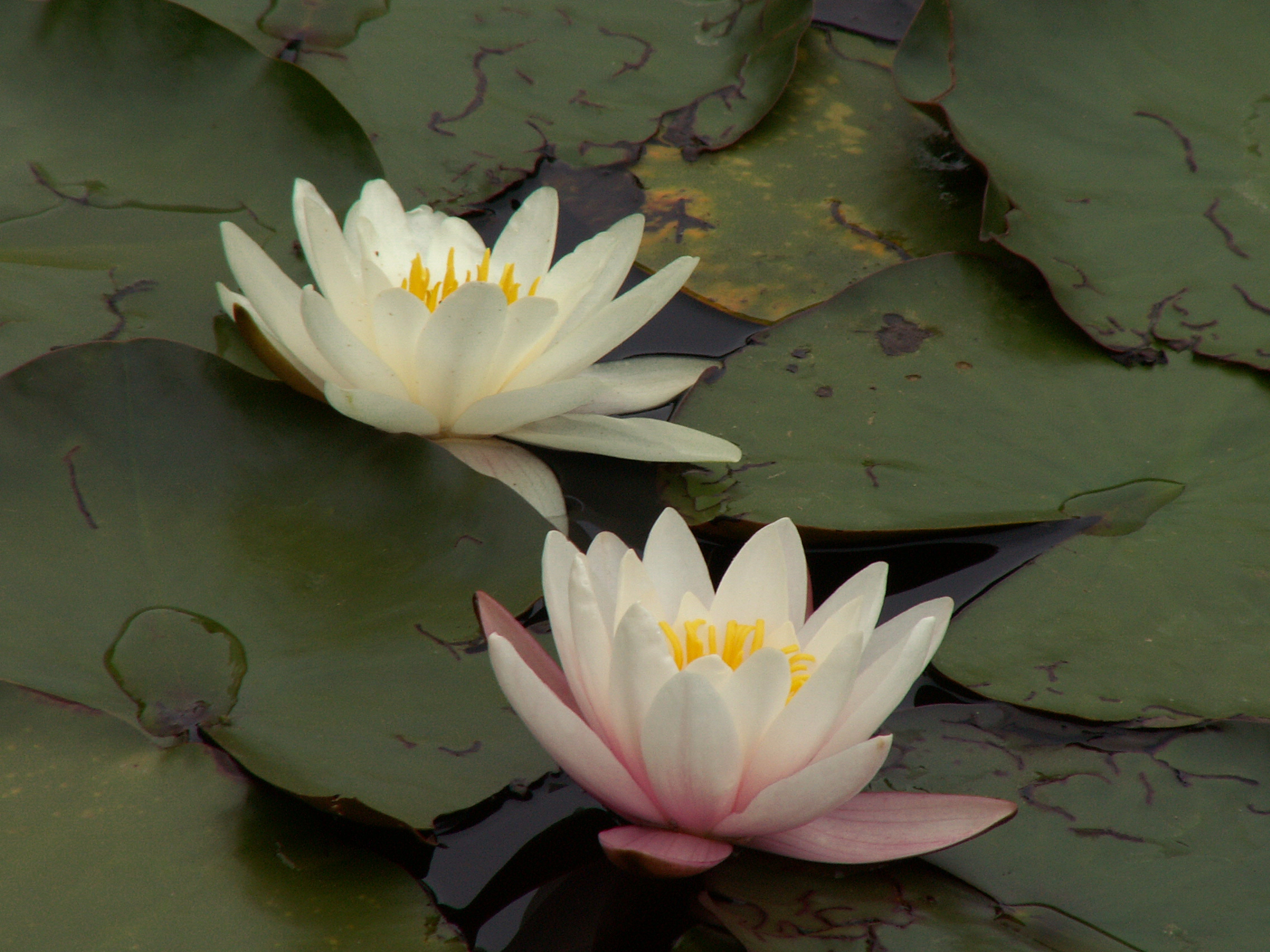 Water Lily Nymphaea Odorata Flora Pittsburghensis