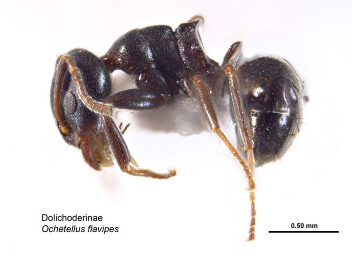 Spinifex Ant